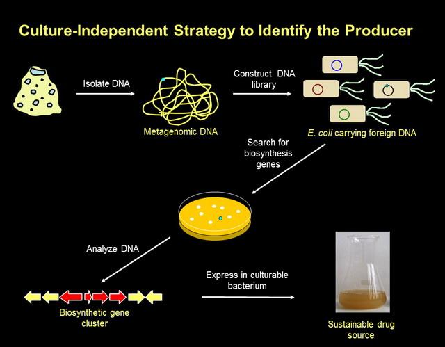 Bakteri yang kerasukan. E. Coli dirasuki gen bakteri asing yang berpotensi mengasilkan senyawa obat dan kosmetika. Ini adalah pendekatan metagenomic untuk mensiasati kerusakan lingkungan dan kesulitan kultur bakteri asli (dok. Prof Ocky Karna Radjasa)