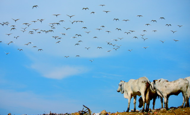 Bangau itu terbang dengan leluasanya seperti sapi-sapi yang sedang memilah dan memilih sampah untuk dimakannya (dok.pri)