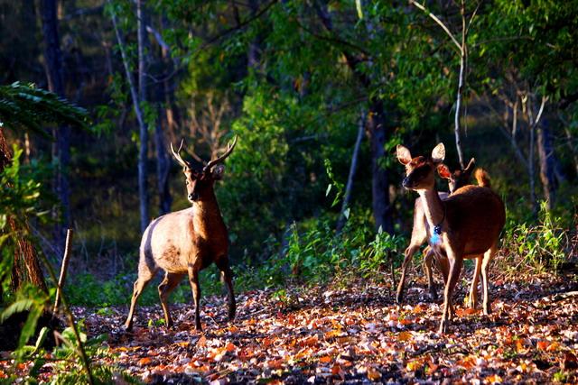 Suara siulan dari sang pawang memanggil rusa-rusa lapar untuk datang (dok.pri).