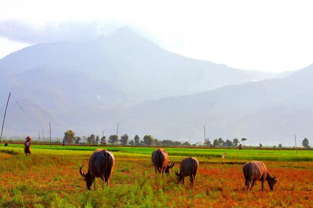 Seorang petani mengawasi kerbau-kerbau gembalaannya. Sawah-sawah kering ini menghasilkan makanan yang lezat bagi hewan ternak (dok.pri).