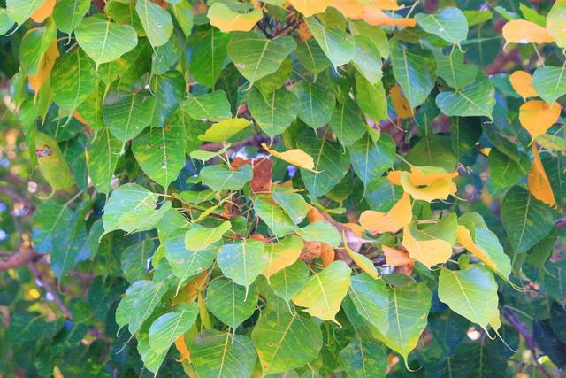 Daun bodi (Ficus religiosa) yang khas, karena lancip dan mirp bentuk hati (dok.pri).