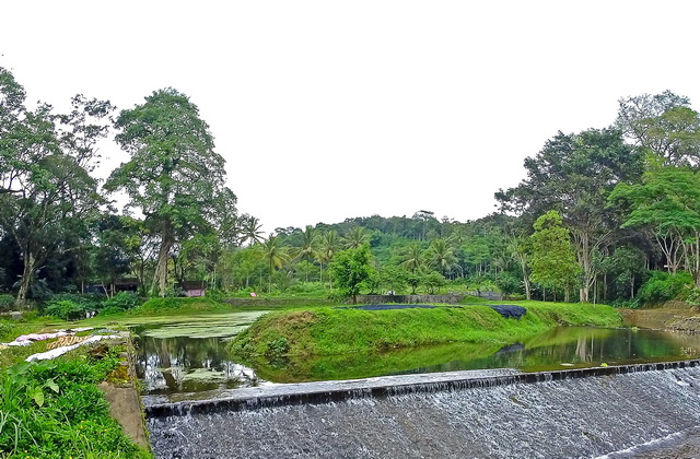 Pohon-pohon besar di mata air tetap terjaga/terkonservasi karena ada pengaruh budaya yang kuat, salah satunya adalah sebagai pohon yang yang angker (dok.pri).