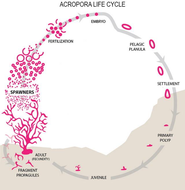 Siklus pertumbuhan terumbu karang